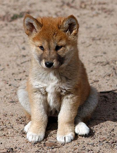 Dingo puppies cute - photo#7