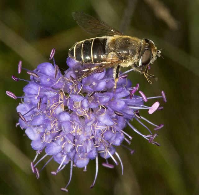 Hoverfly.  Unidentified Eristalis species on Devil's-bit Scabious, Succisa pratensis.  OFC trip to the Ashdown Forest on 6 September 2012.