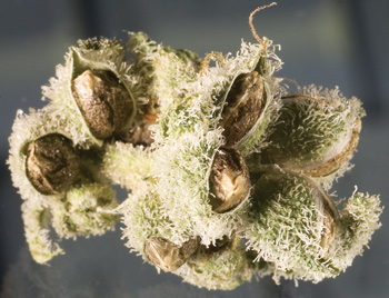 cannabis bud with seeds - feminized cannabis seeds