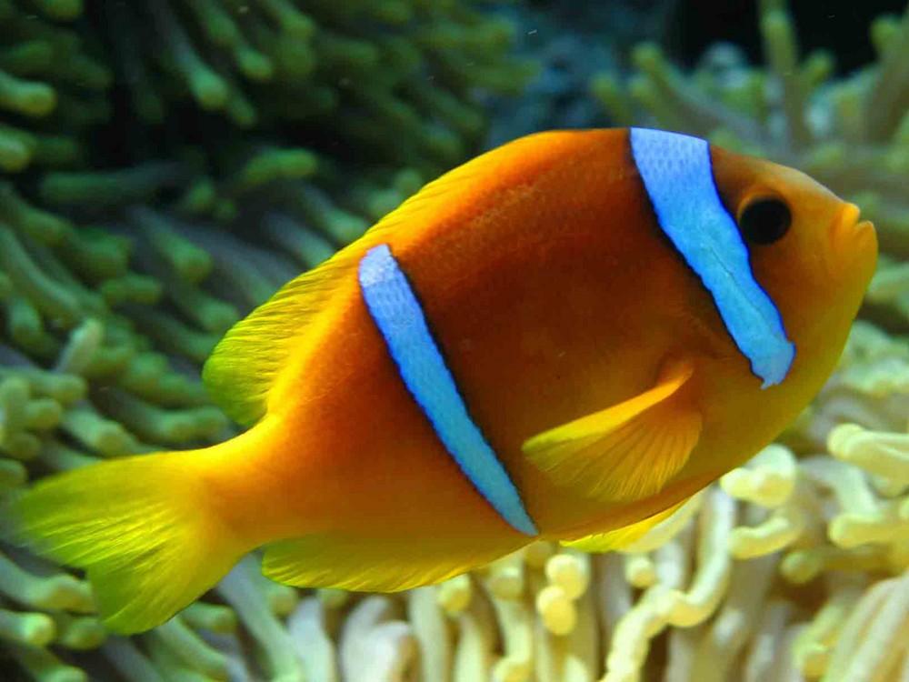 Animali e natura progetto ste per la salvaguardia della for Immagini pesce pagliaccio