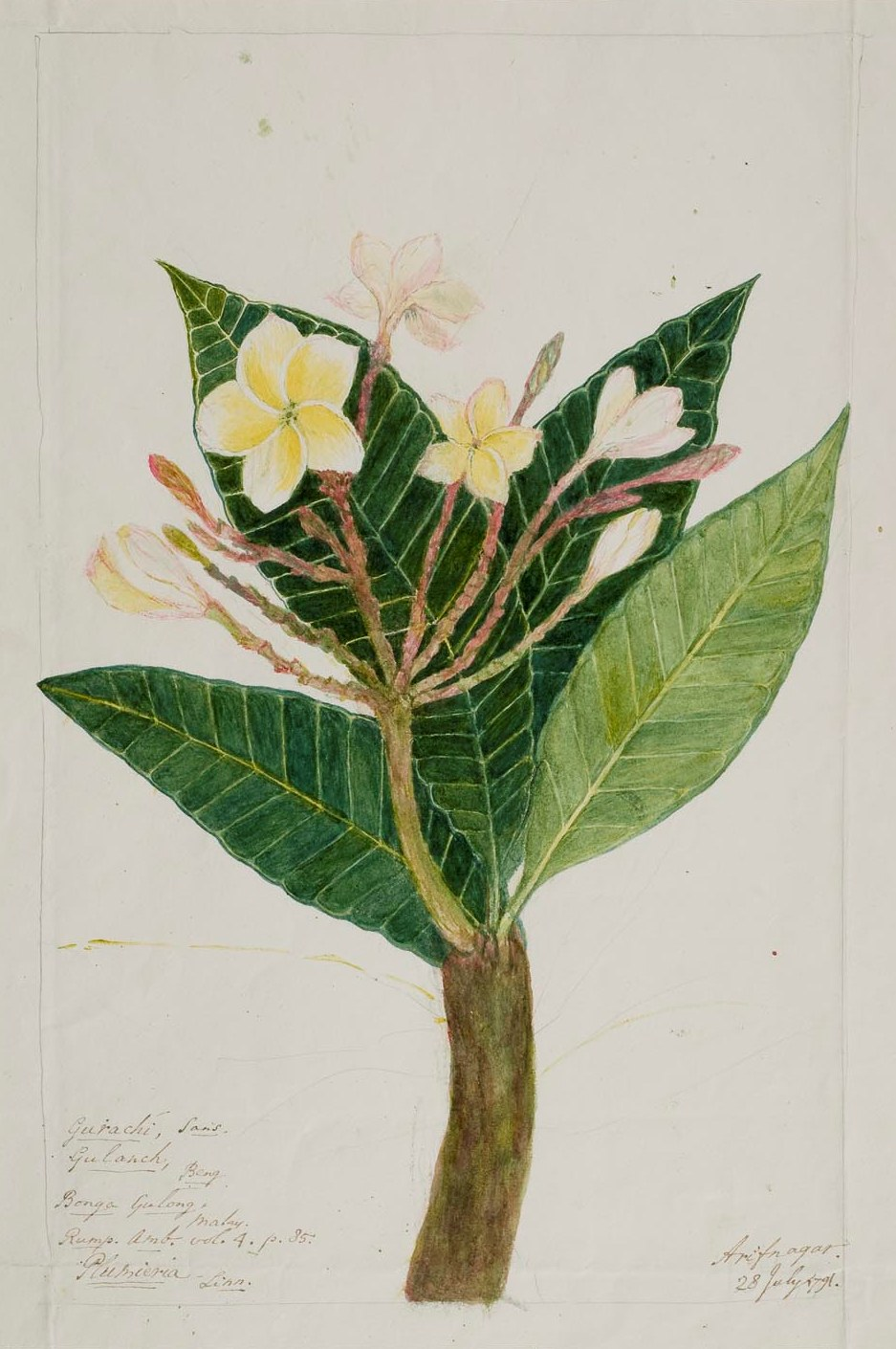 Frangipani Tree Drawing The Frangipani Plant