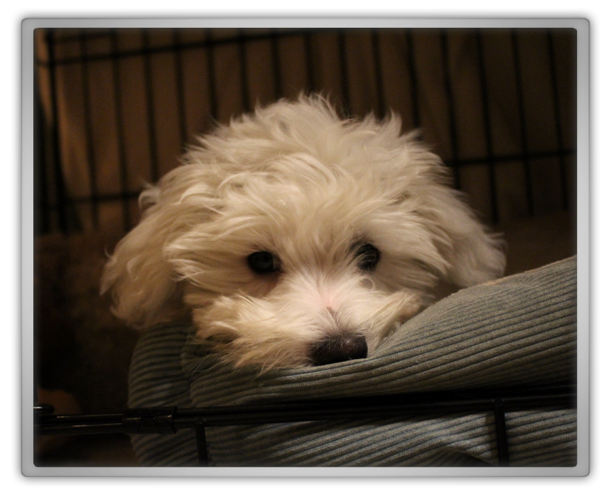 jofee jonathan saccone joly maltese dog puppy 16 weeks old 4 months cute adorable training marjolein kucmer sleeping