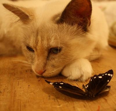 Kat med fanget og nedlagt sommerfugl