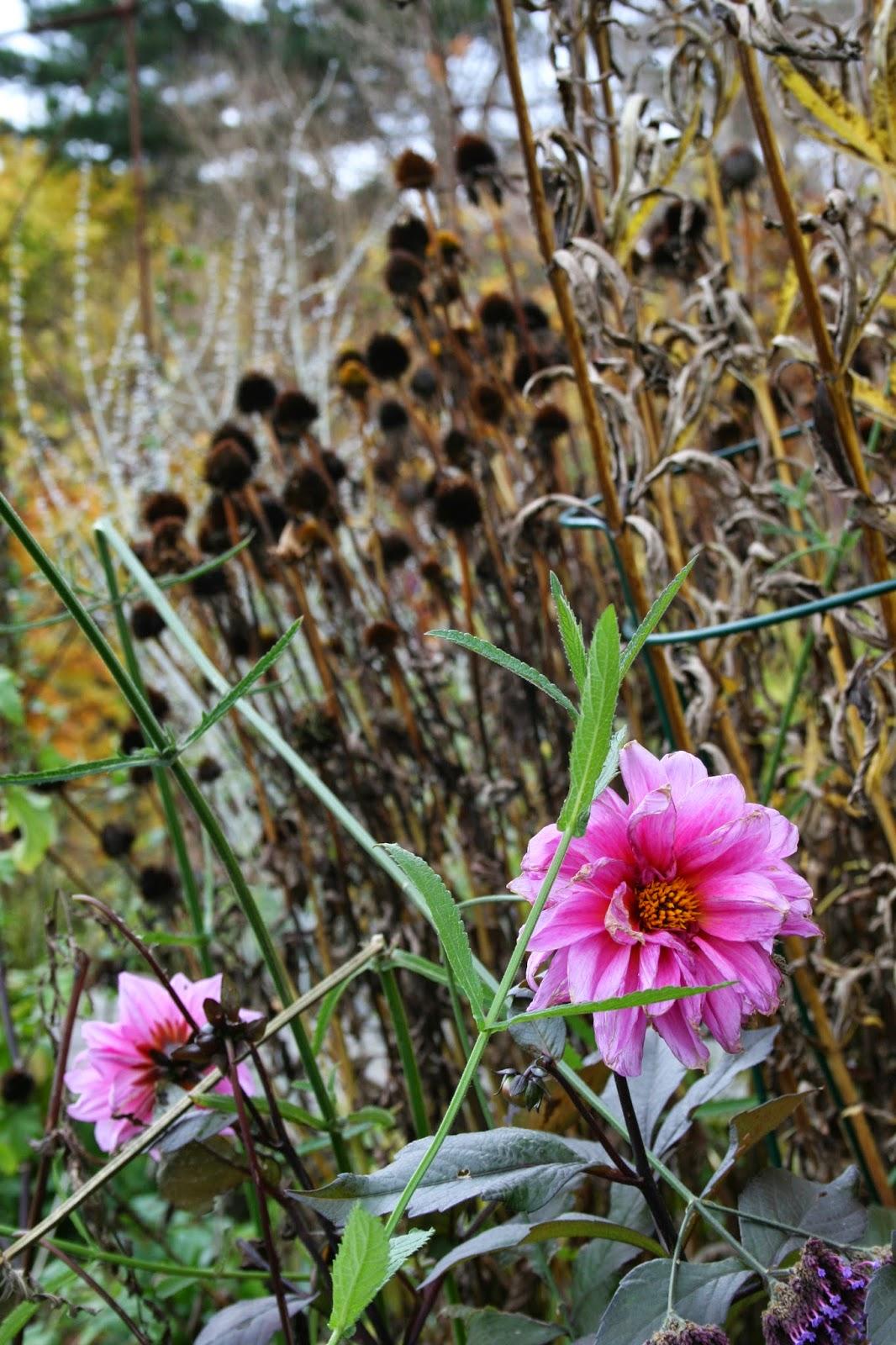 hon som talar med blommor dahlia vinterförvaring