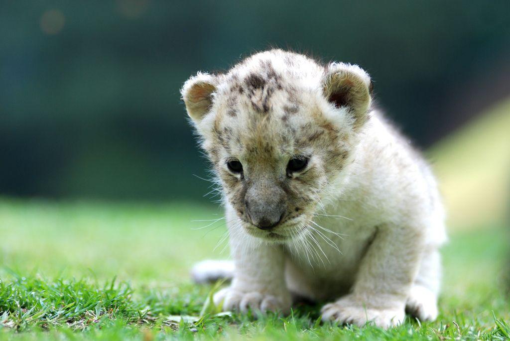 28. Lion