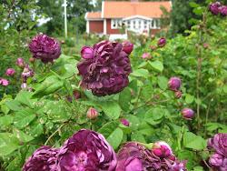 Rosor i min trädgård