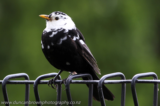 A leucistic blackbird photograph