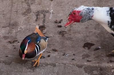 Mandarin Duck, Centennial Park