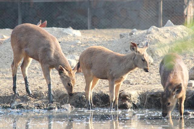Thirst, thirst photography, shashank mittal, shashank mittal photography, shashank, mittal, deer, delhi zoo