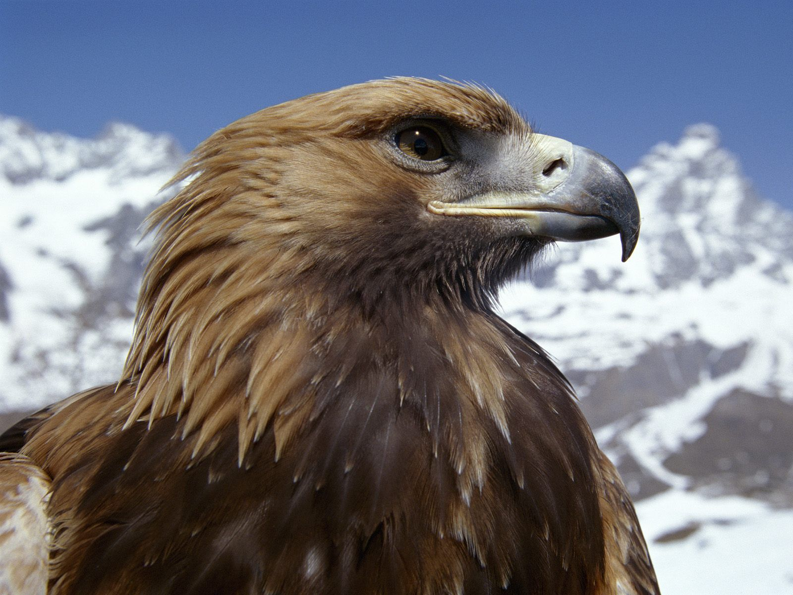 golden eagle Find great deals on ebay for golden eagle in compound bows shop with confidence.
