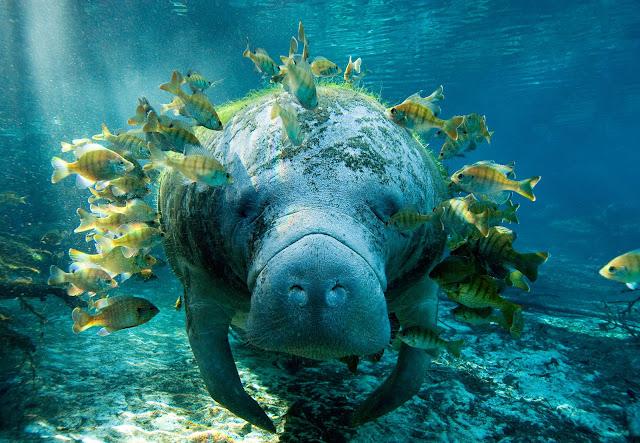 Kabar Duka dari si Lembu Laut