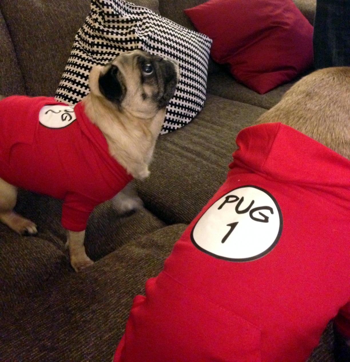 very cute pugs dressed up   viewing gallery