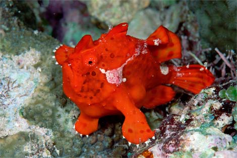 Great frogfish and scorpionfish video belk 39 s fish blog for Angler fish pet