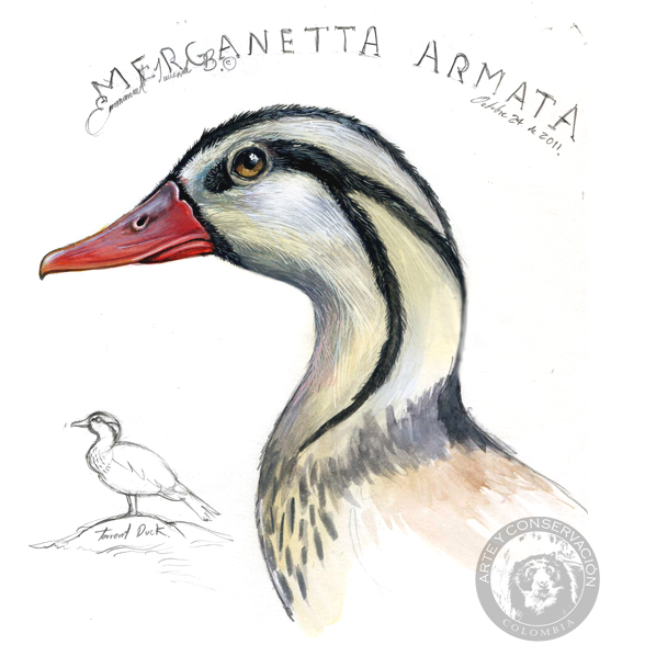 Arte y Conservacin Journal Pato de torrente Merganetta armata