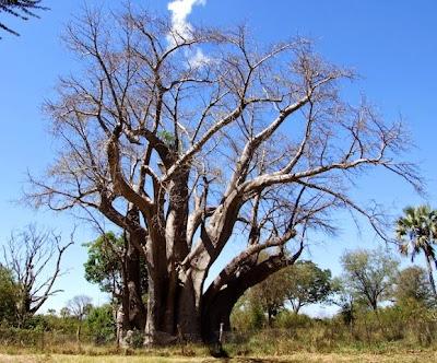 Victoria Falls Big Tree, 2009