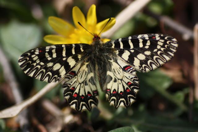 güneyli fisto kelebeği