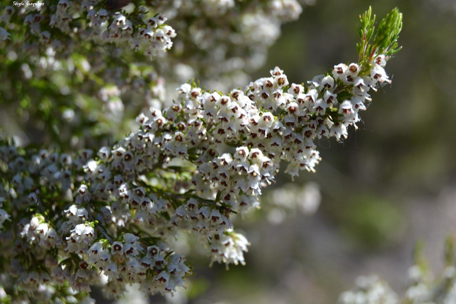 Urze Branca - Erica arborea