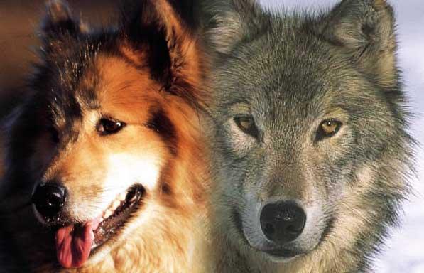 Image d'un chien et d'un loup