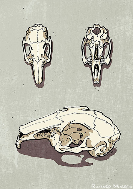 illustrated rabbit skull views