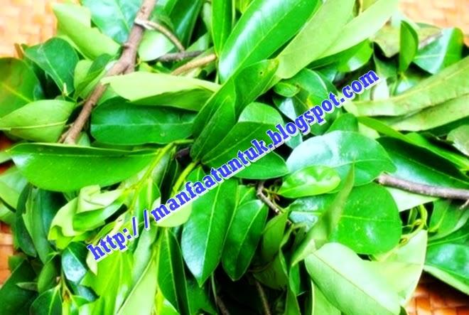 khasiat daun sirsak bagi kesehatan dan kecantikan