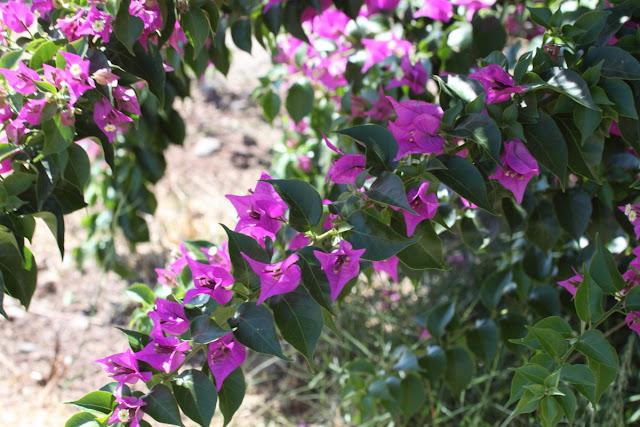 Violet Bougainvillea branches