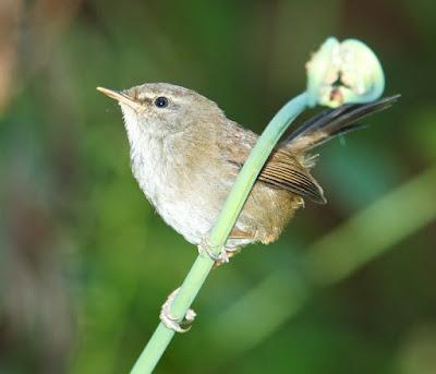 Sunda Bush-warbler (Cettia vulcania oreophila)