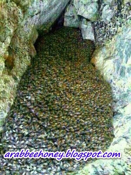 بالصور-العثور على كهف بعمان ممتلئ بأعداد لا تحصى من النحل وعسل النحل المصفى