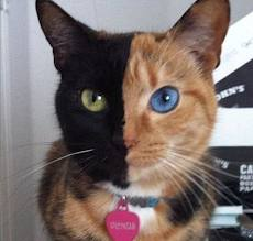 Venus the odd-eyed harlequin cat