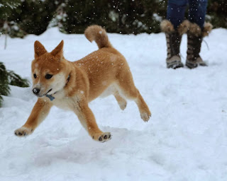 Cute dogs - part 3 (50 pics), shiba inu playing in the snow