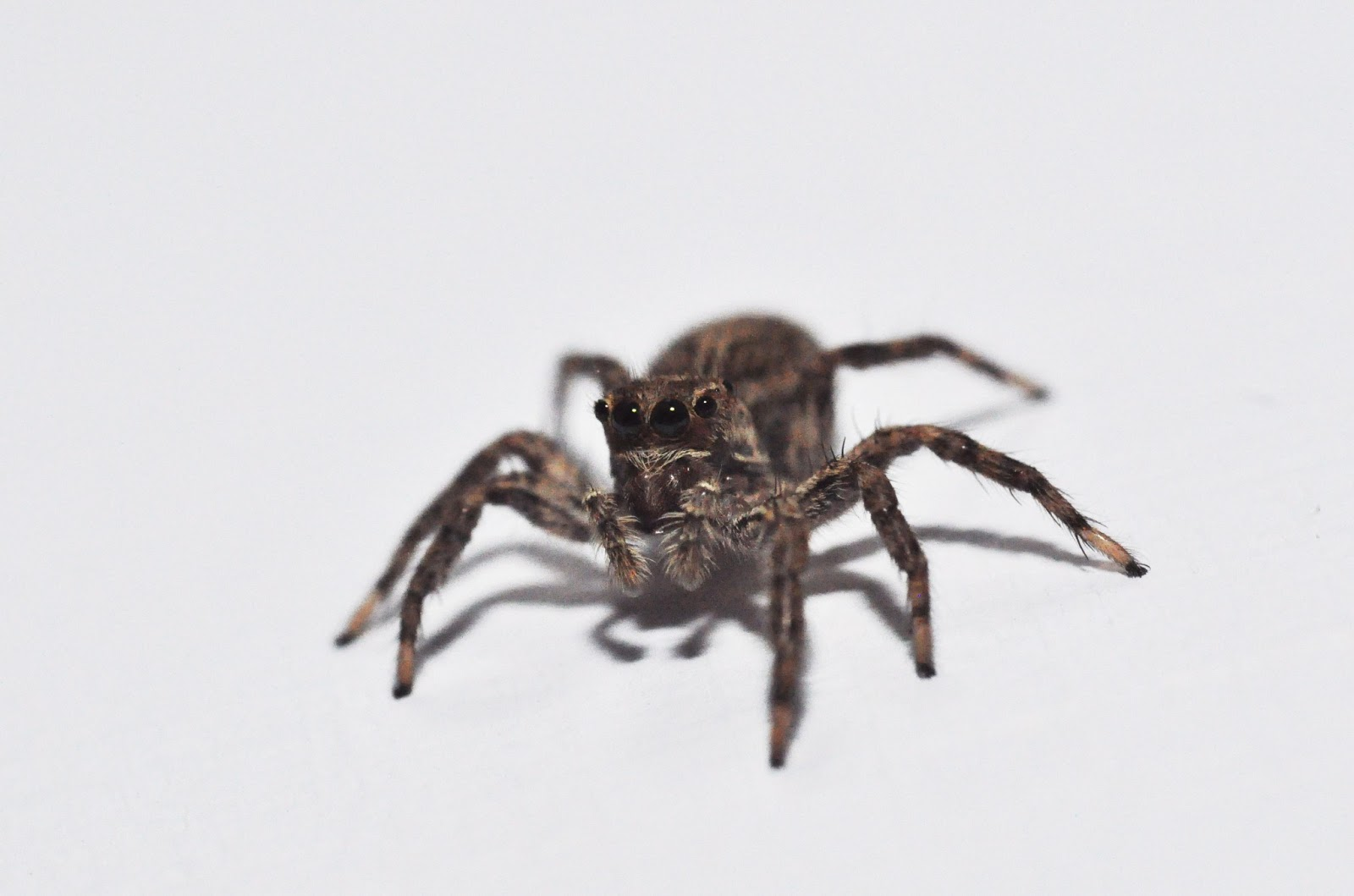 jumping spiders are active hunters often seen during the day walking up and down walls in houses as well as in the countryside