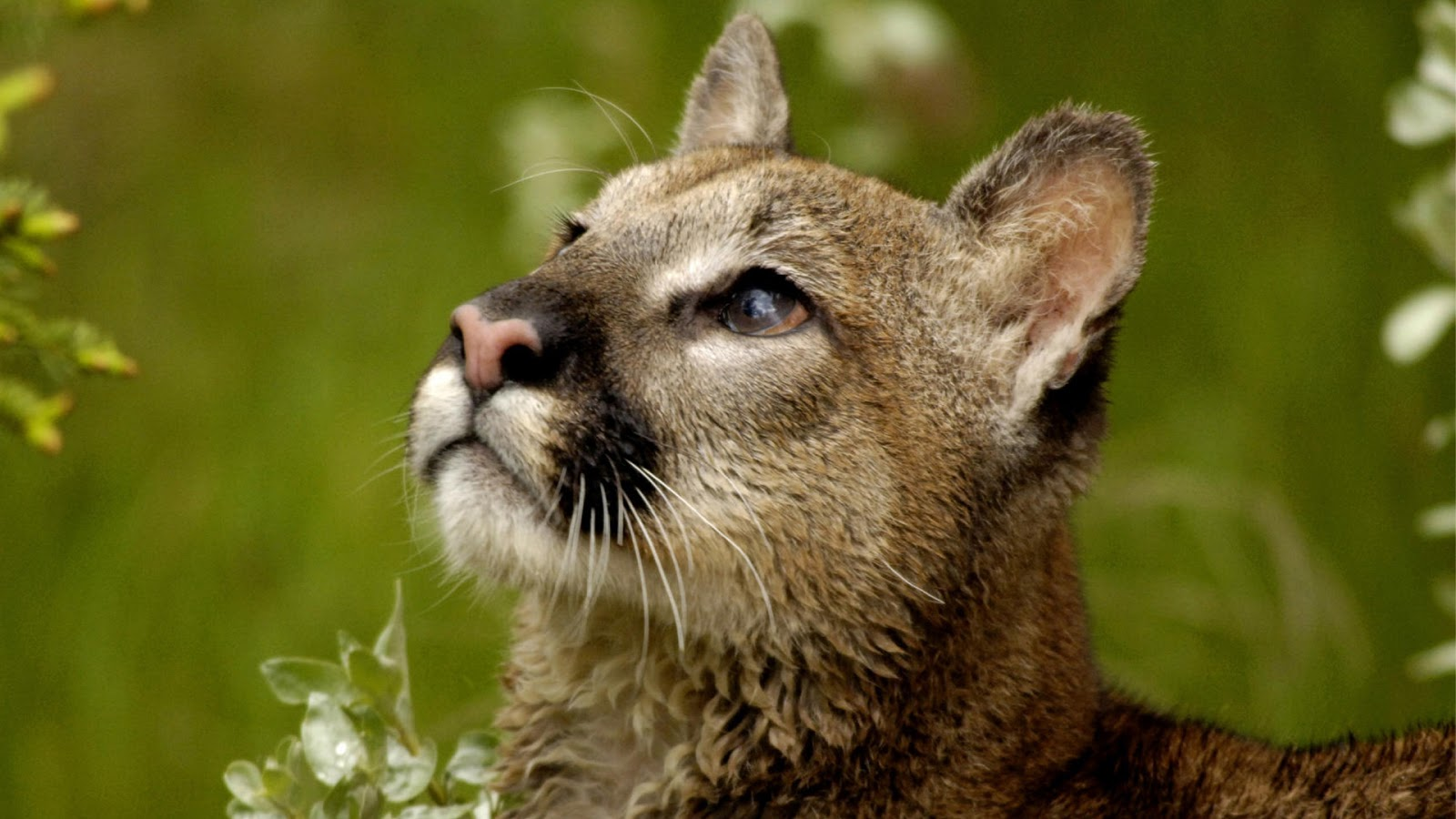 mountain lion cougar hd wallpapers hd wallpapers high