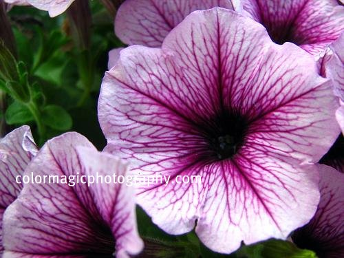 Purple petunia macro photo