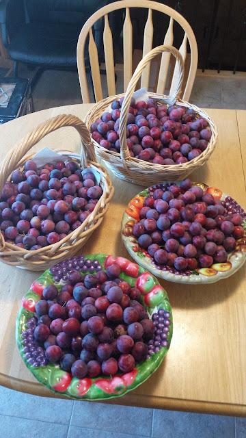 Methley Japanese plum harvest.