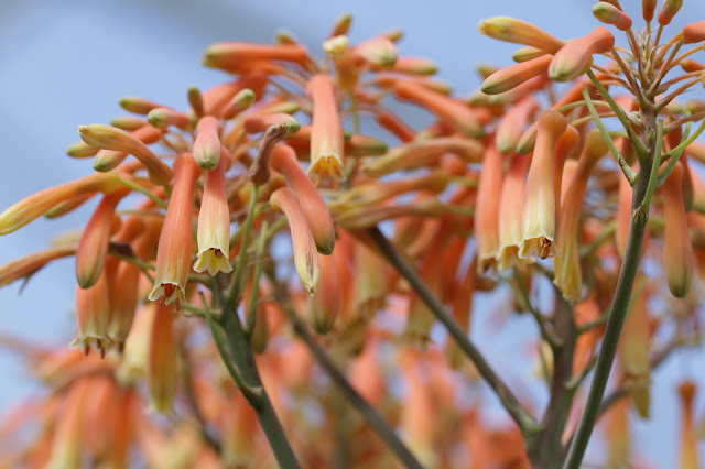 Aloe x striata (?) - Flowers