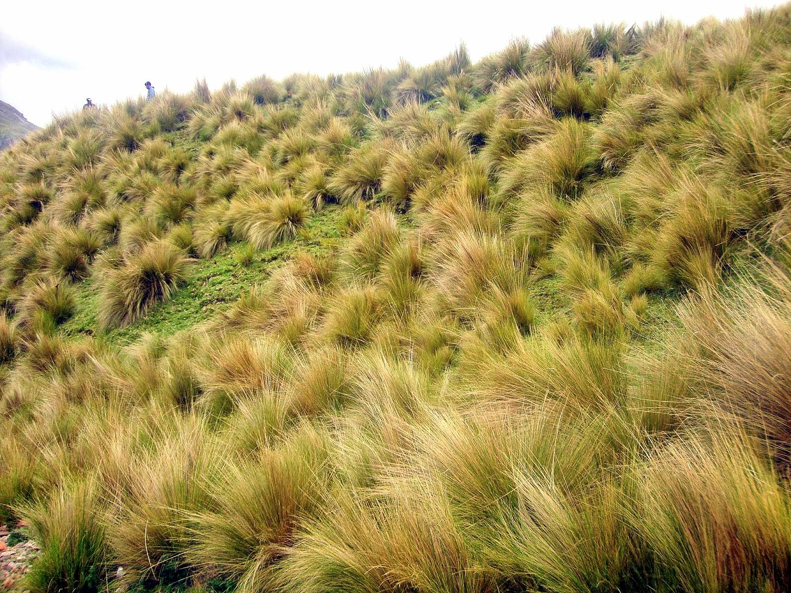 Animales y Plantas de Perú: ICHU - Stipa ichu