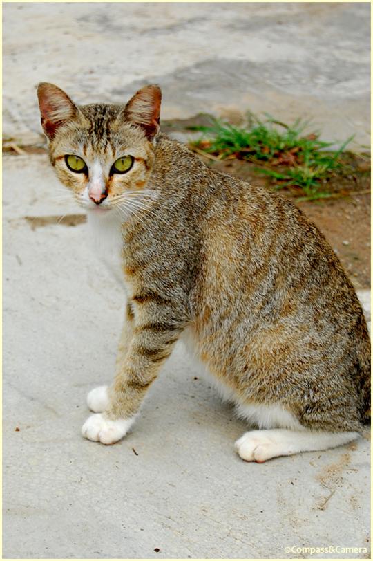 Cat from Tioman Island
