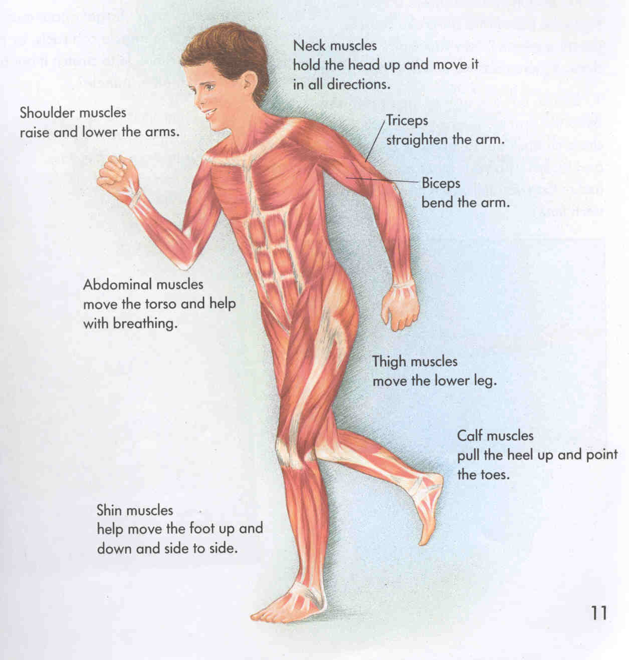 human body systems and their organs: muscular system
