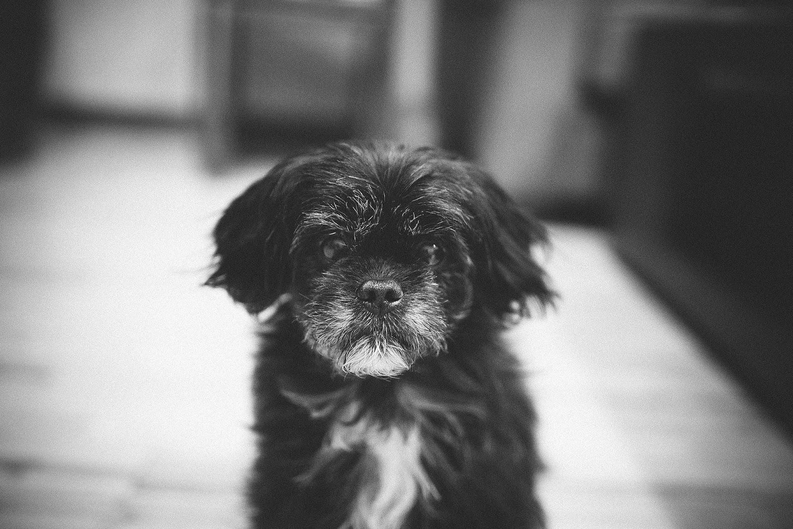 Pekapoo Portrait Puppy Dog