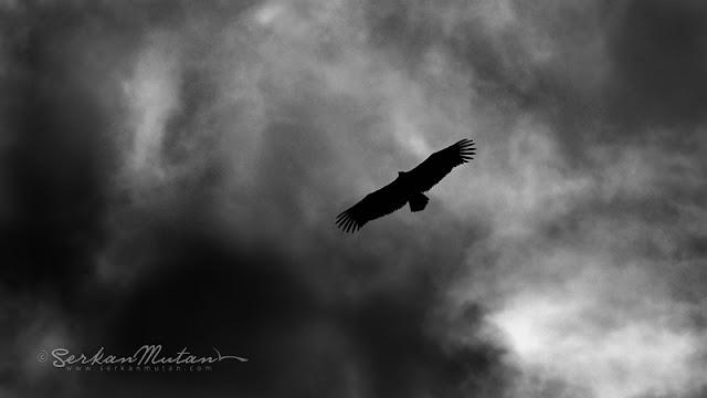siyah beyaz kuş fotoğrafları