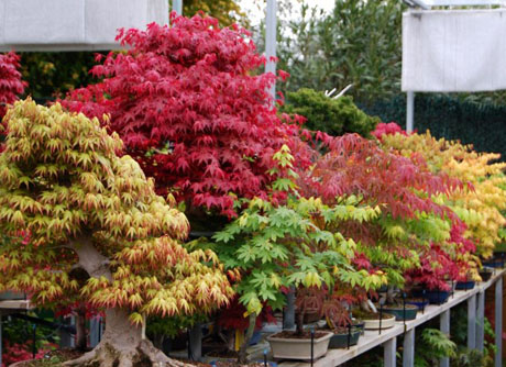 Bonsai Flamboyan
