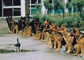 funny picture cat with guts walk past the German Shepherds