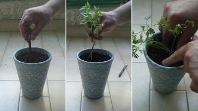 Plantar salsa
