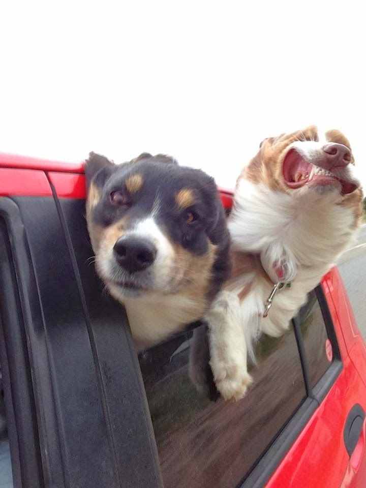 Cute dogs - part 11 (50 pics), two dogs stick their head out on car ride