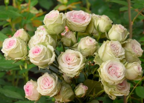 Mimi Eden rose сорт розы фото
