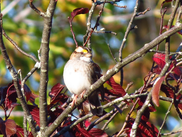 white-throated sparrow two