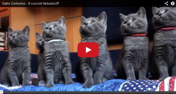 Gatto Certosino E 8 Cucciolifantastico Video