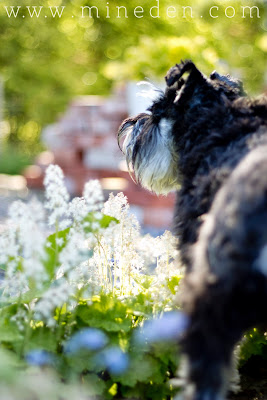Minischnauzer Garden dog