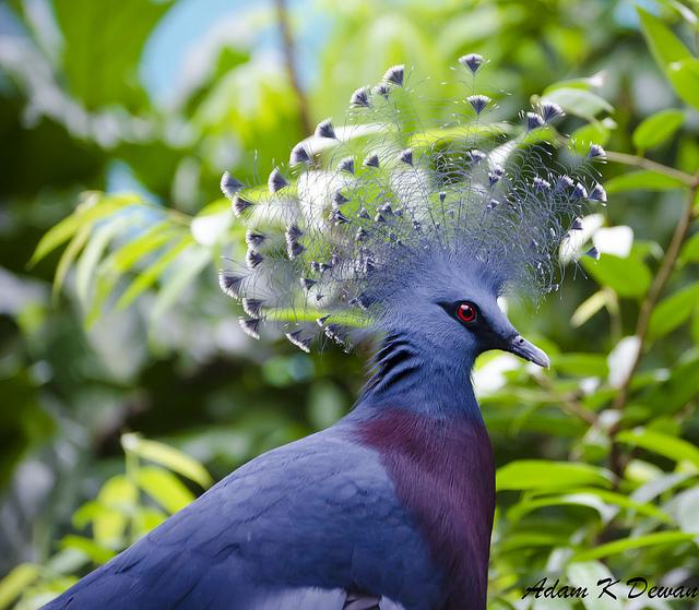 victoria+crowned+pigeon+1 أكبر حمامة في العالمحمامة فكتوريا المتوجة