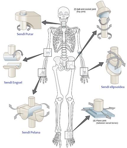 Hubungan Antar Tulang dan Kelainan Pada Tulang