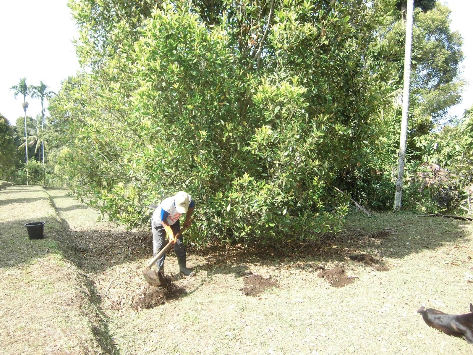 Tujuan pemupukan adalah untuk memperbaiki pertumbuhan tanaman dan meningkatnya produksi cengkeh setelah panen